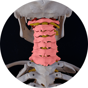 skeleton with cervical spine marked in pink